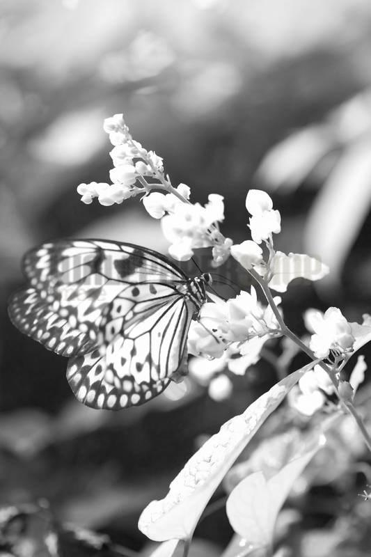 Butterfly No 11463