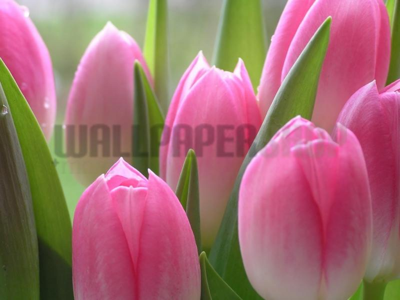 Digital Walls Pink Tulips No 4897
