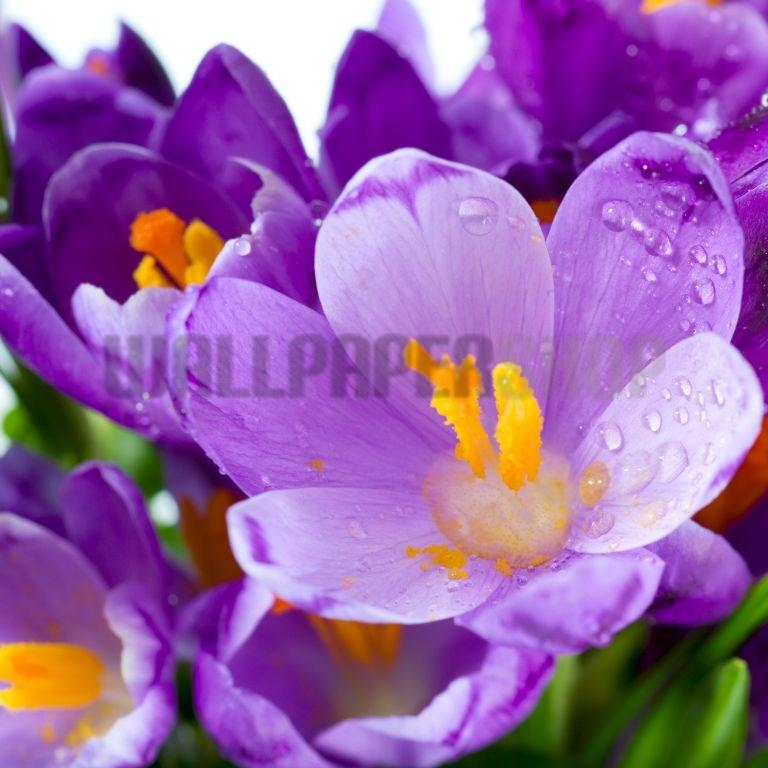 Digital Walls Crocus Flowers  No 5611