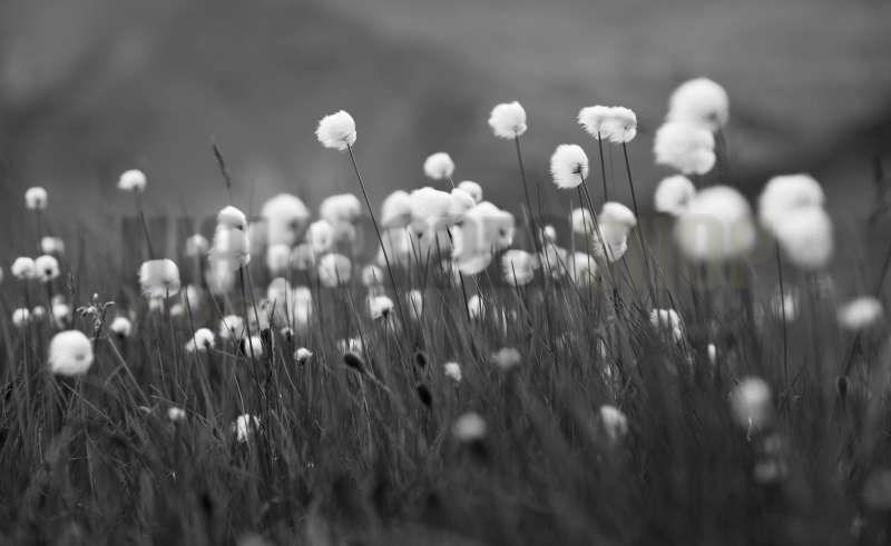Digital Walls Cotton Grass No 5889