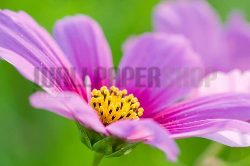 Digital Walls Cosmos Flower No 5890